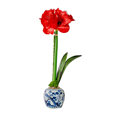 Red Single Amaryllis