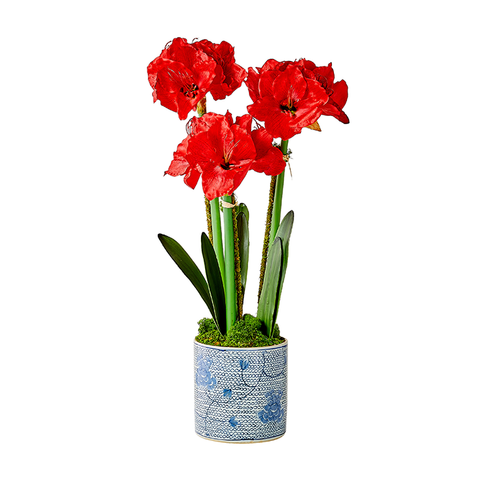 Red Triple Amaryllis