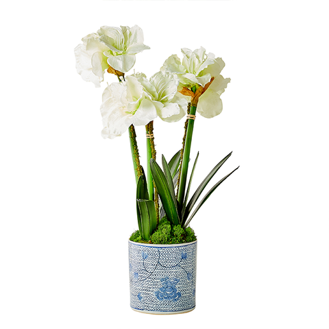 White Triple Amaryllis