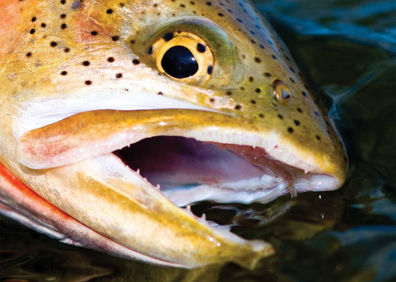 The Best Cutthroat Trout Stream in America