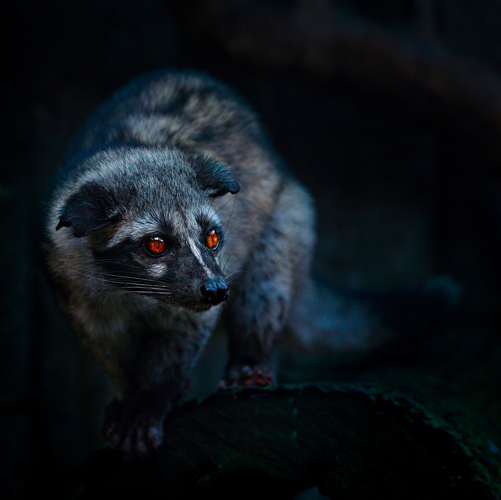 Civet in the dark