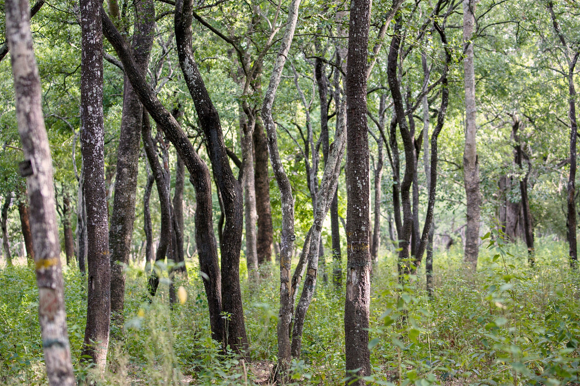 Sandalwood forest reserve in Marayoor, Kerala, India