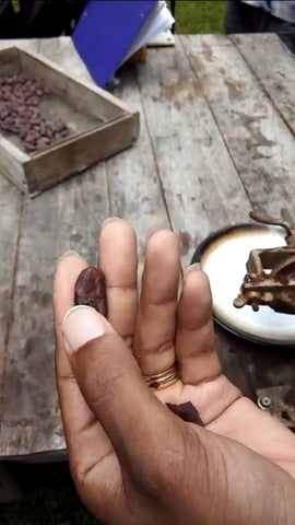 Close up of cocoa bean ready to grind at the cacao farm in Dominica Island