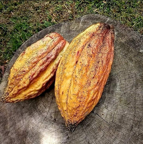 Cacao pods ready to process at the cacao farm in Dominica Island