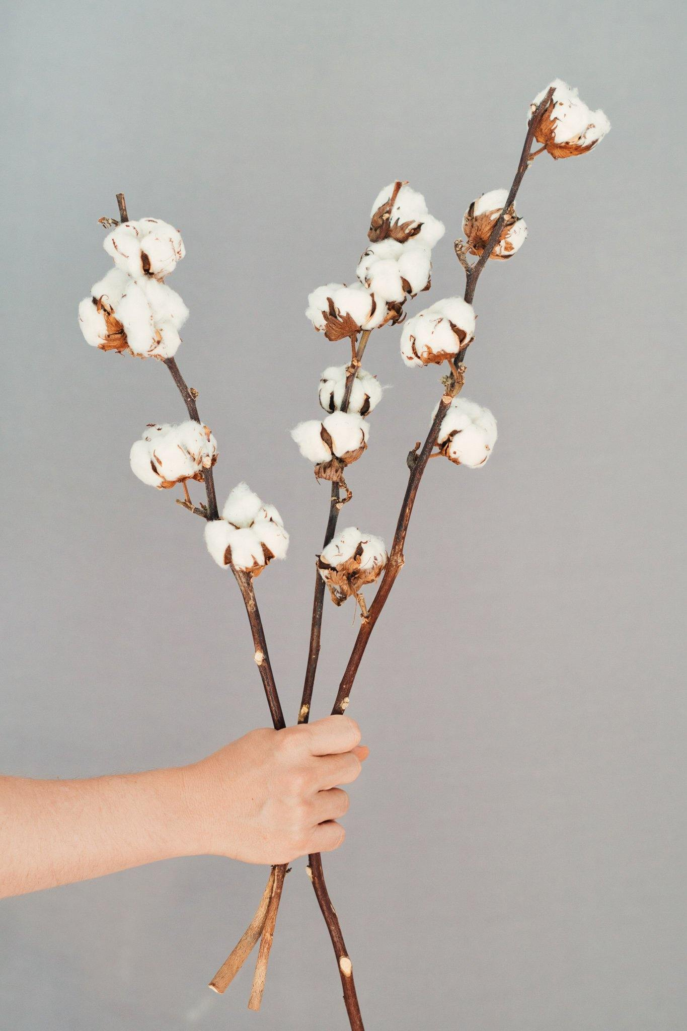 Dried flowers Cotton (natural) 3 branches