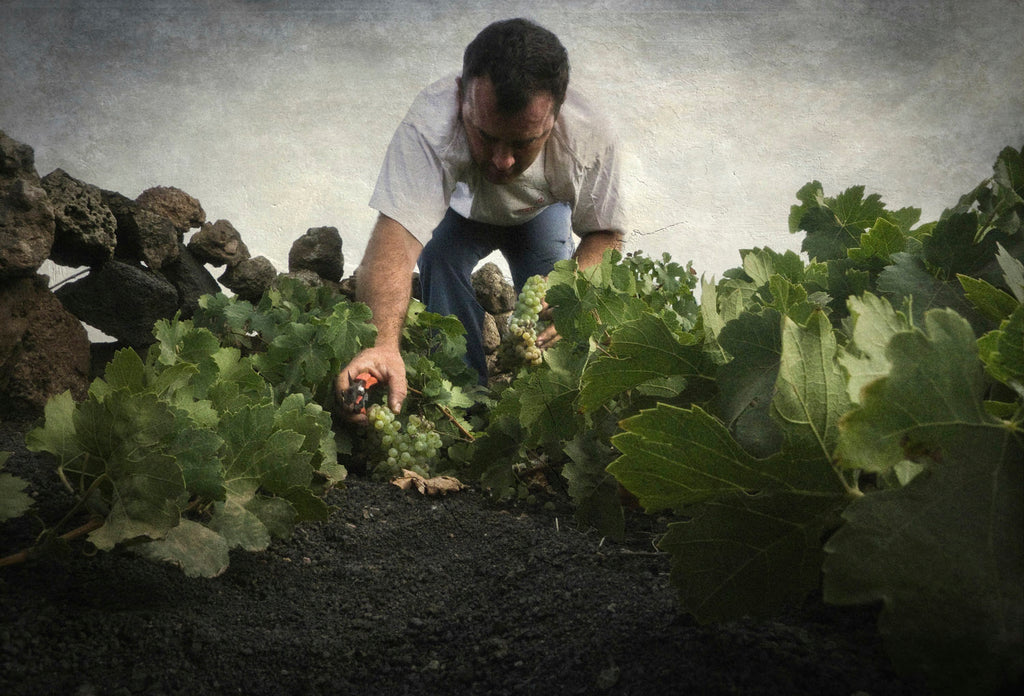 The Best Lanzarote Grapes are Harvested