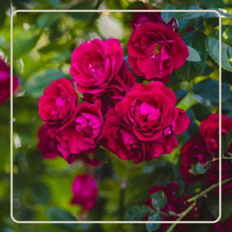 Rose Extracts