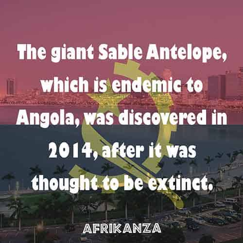 The Giant Black Sable Antelope, a magnificent wildlife which is endemic to Angola, was discovered in 2004 after it was thought to be extinct because of the years of civil war
