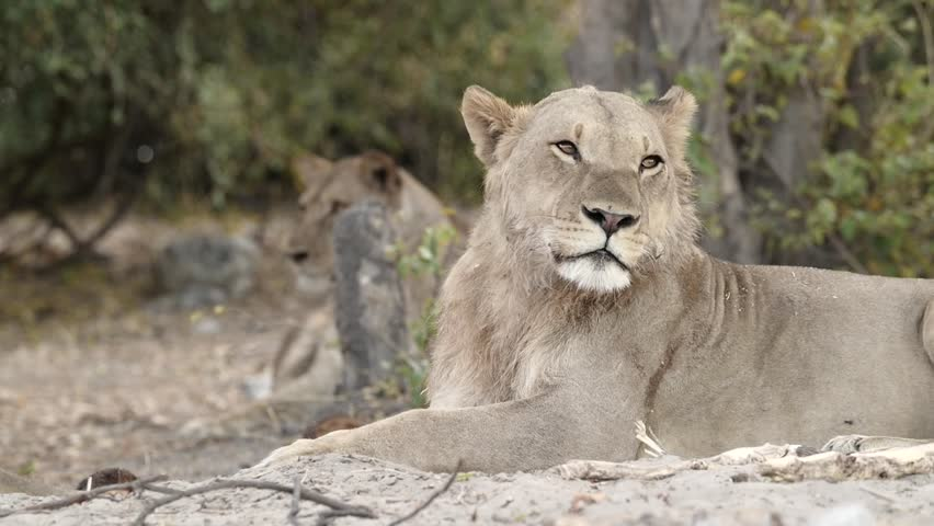 Chobe National Park Lion Hanging Out