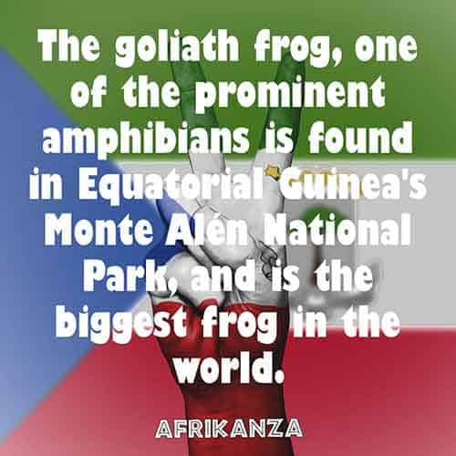 The Goliath frog, one of the prominent amphibians is found in Equatorial Guinea's Monte Alén National Park, and is the biggest frog in the world