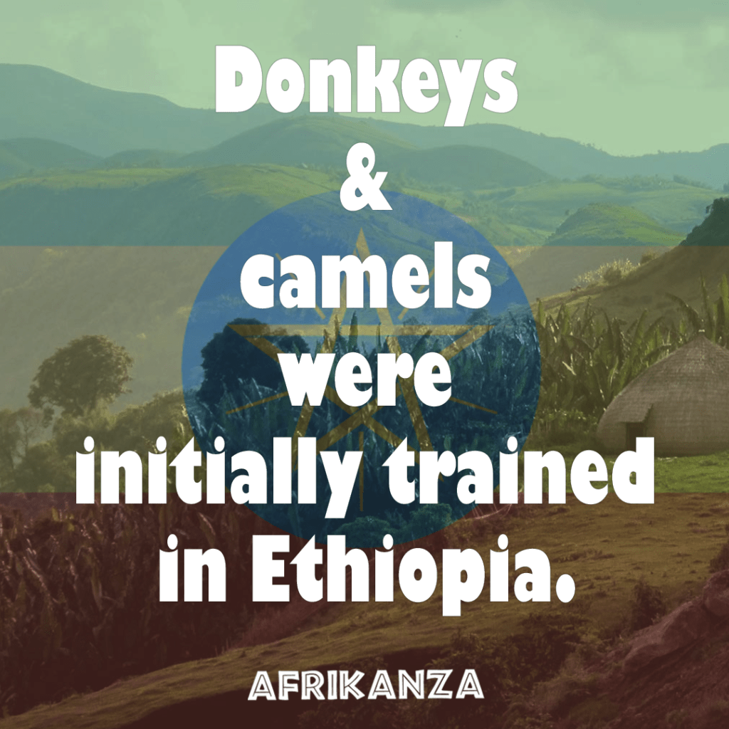 Fact-5-Donkeys-and-Camels-were-trained-in-Ethiopia-originally