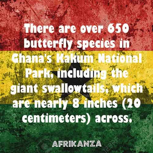 There are over 650 butterfly species in Ghana's Kakum National Park, including the giant swallowtails, which are nearly 8 inches (20 centimeters) across