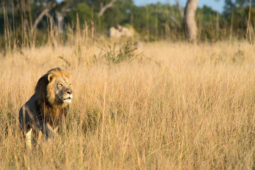 Hwange National Park Lion In The Grass