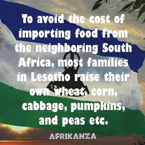 To avoid the cost of importing food from the neighboring South Africa, most families in Lesotho raise their own wheat, corn, cabbage, pumpkins, and peas etc