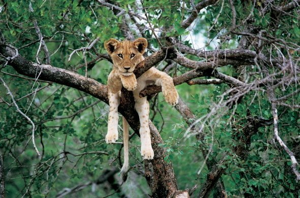 Lion Cub Laying In Tree In Zambia