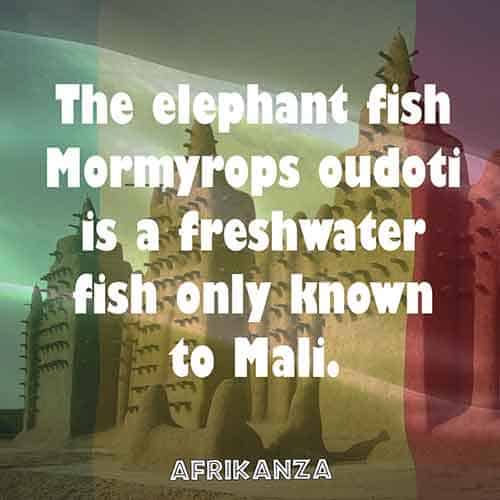 The elephant fish Mormyrops oudoti is a freshwater fish only known to Mali