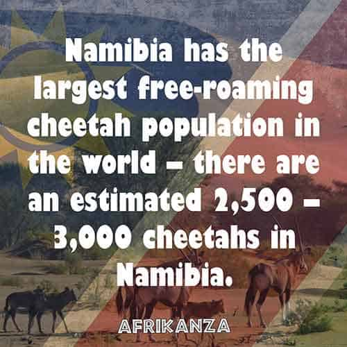 Namibia has the largest free-roaming cheetah population in the world – there are an estimated 2,500 – 3,000 cheetahs in Namibia