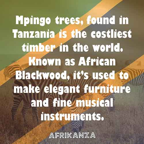 Mpingo trees, found in Tanzania is the costliest timber in the world. Known as African Blackwood, it's used to make elegant furniture and fine musical instruments.