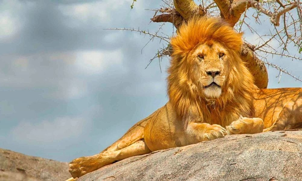 The Serengeti Circuit Lion Chilling On A Boulder
