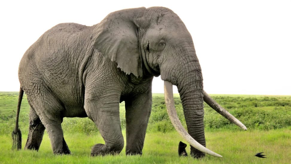 African Elephant Largest Animal In Africa
