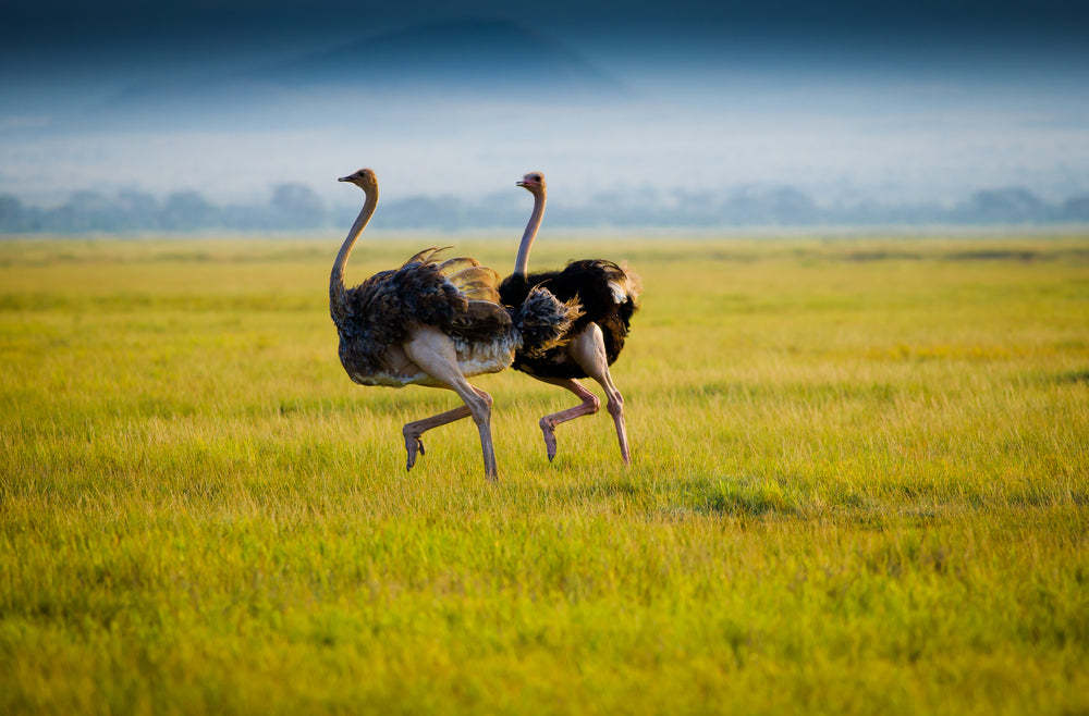 Two African Ostriches Running