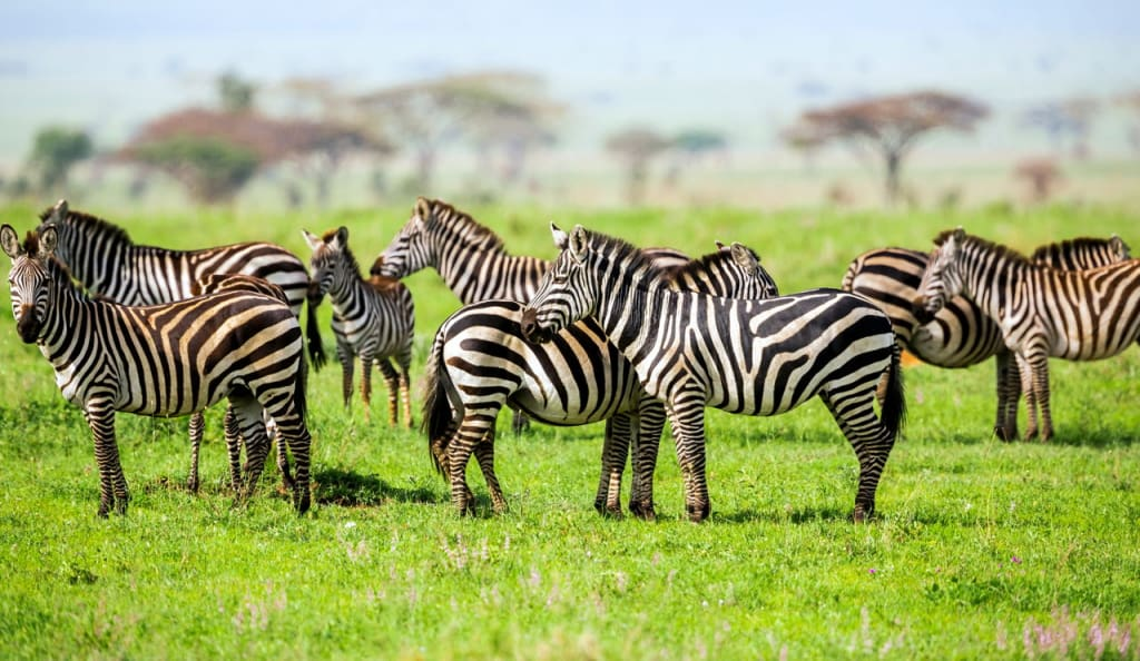 Zebras With African Acacia Trees