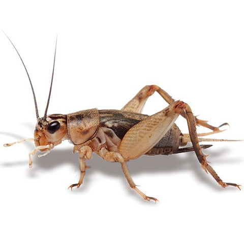 PISCES CRICKETS SMALL