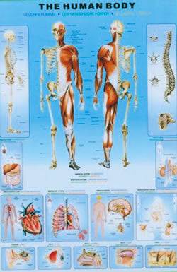 Human Body Poster