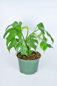 Philodendron Monstera Ginny 6""