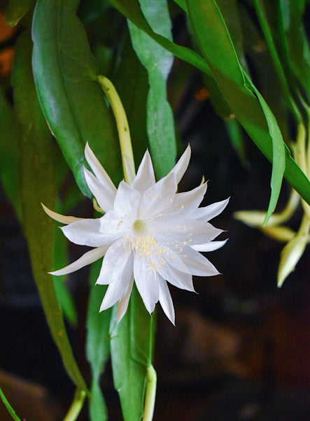 'Queen of the Night' Epiphyllum Oxypetalum Hanging Basket 10""