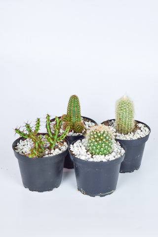 Cactus Assorted 4""