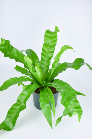Bird's Nest Fern 6""