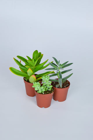 "Assorted 2"" Succulent 3 Pack"