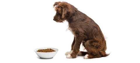 Can Dog Food Cause the Heart Disease DCM?