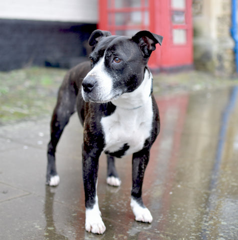Staffy next to a red telephone box