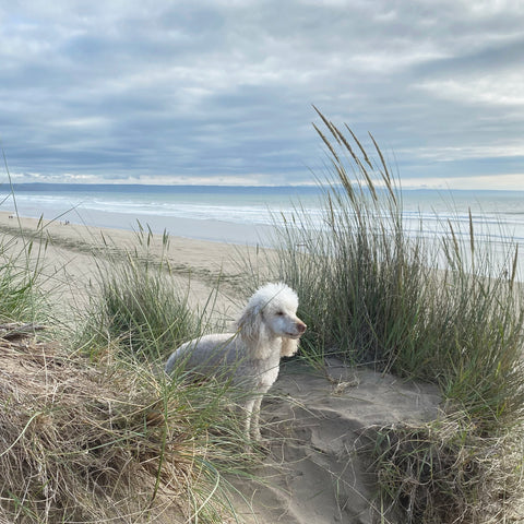 White miniature poodle standing in sand dunes
