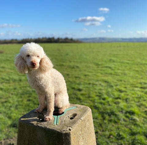 Poodle on a trig point