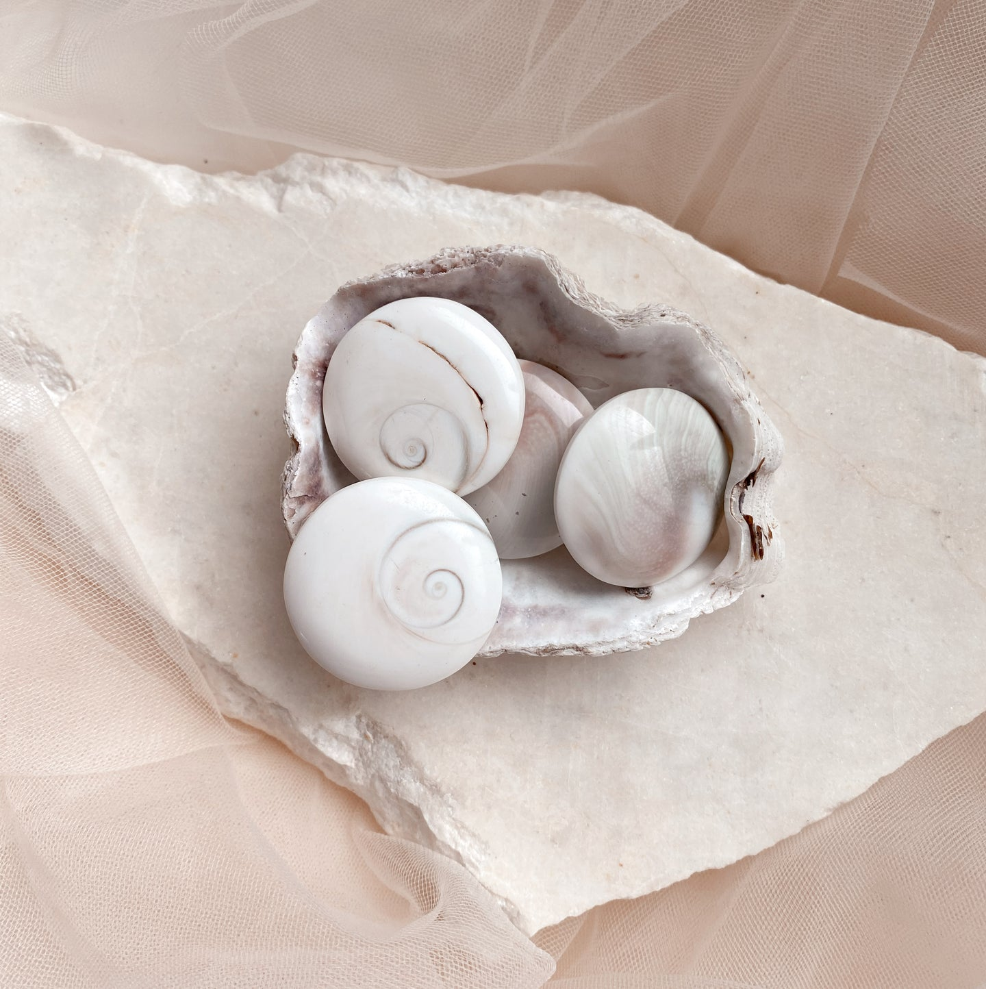 Shiva Shells - Small