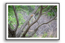 Load image into Gallery viewer, Africa (Botswana) - Hornbill