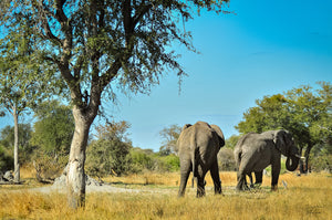 Africa (Botswana)  - Graceful Creatures