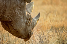 Load image into Gallery viewer, Africa (Botswana) - Rhino (Late Afternoon Graze)