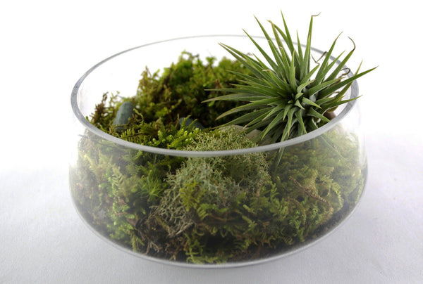 How To Water Your Tillandsia [Airplants & Airplant Care]