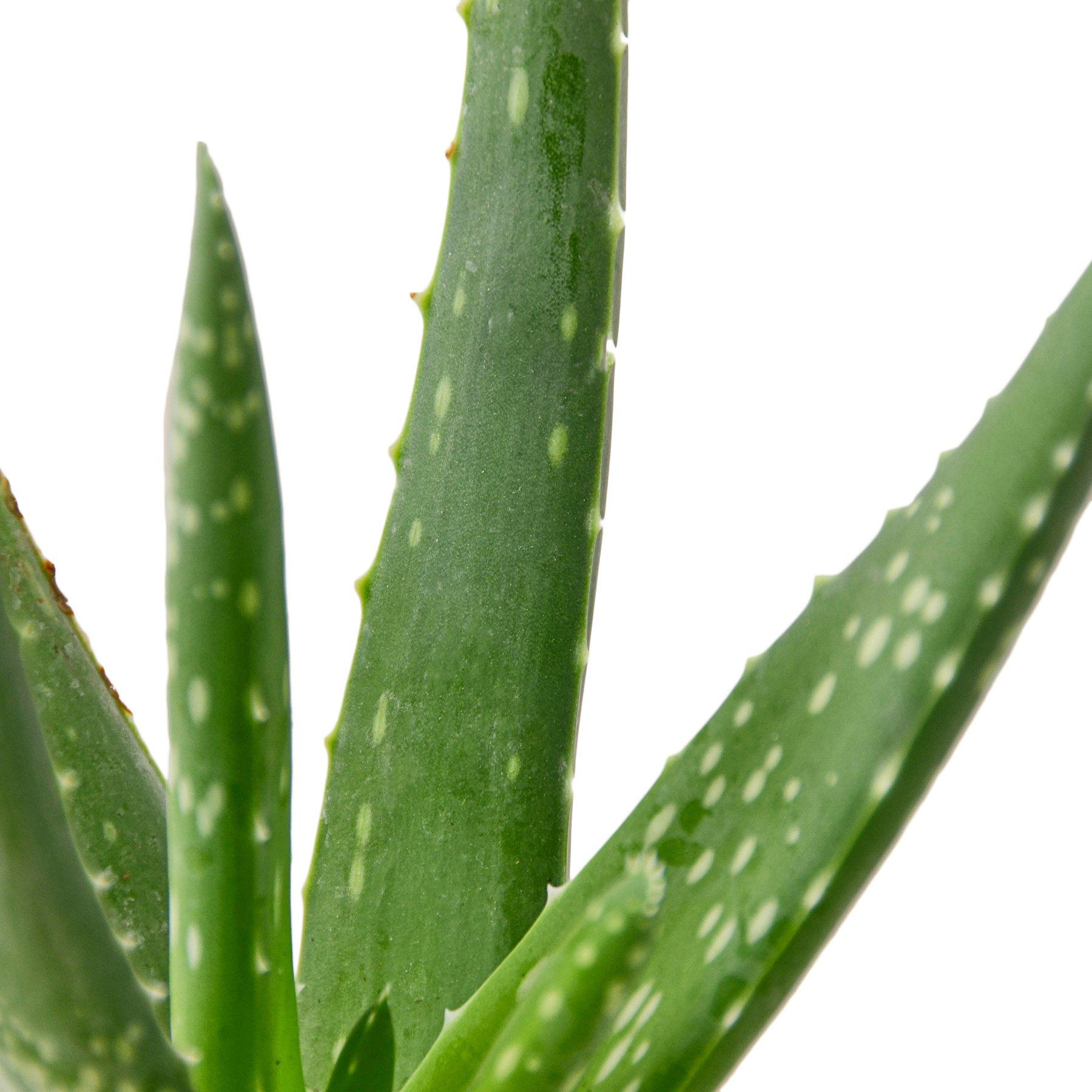 Aloe Vera Houseplant-SproutSouth-Indoor Plants