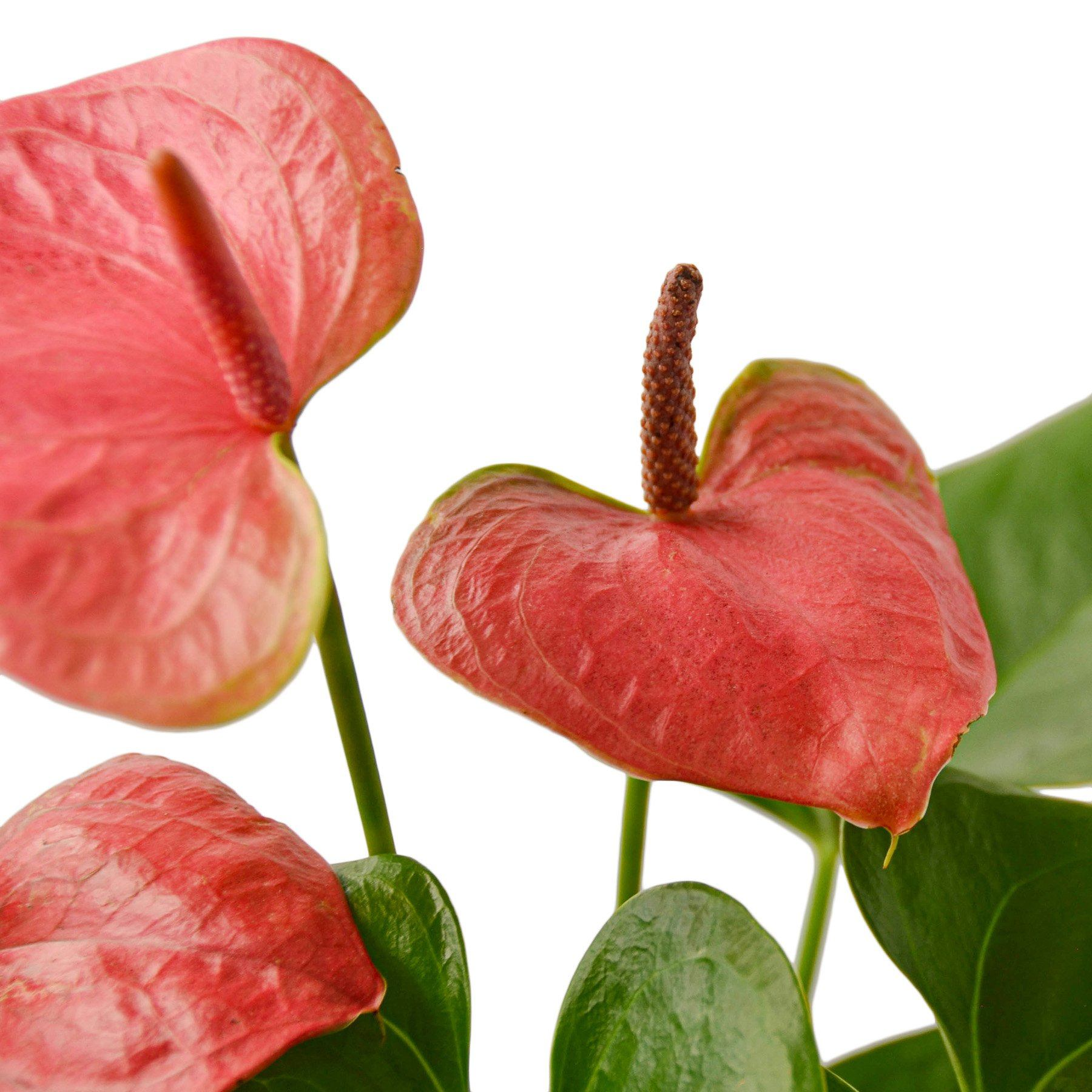 Anthurium 'Pink' Indoor Houseplant-SproutSouth-Indoor Plants