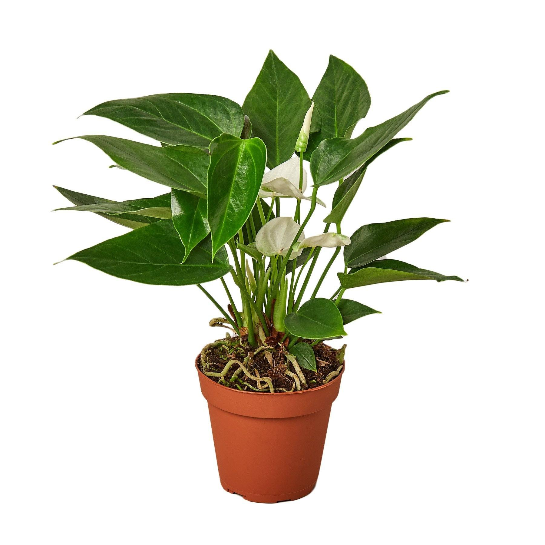 Anthurium 'White' Houseplant-SproutSouth-Indoor Plants