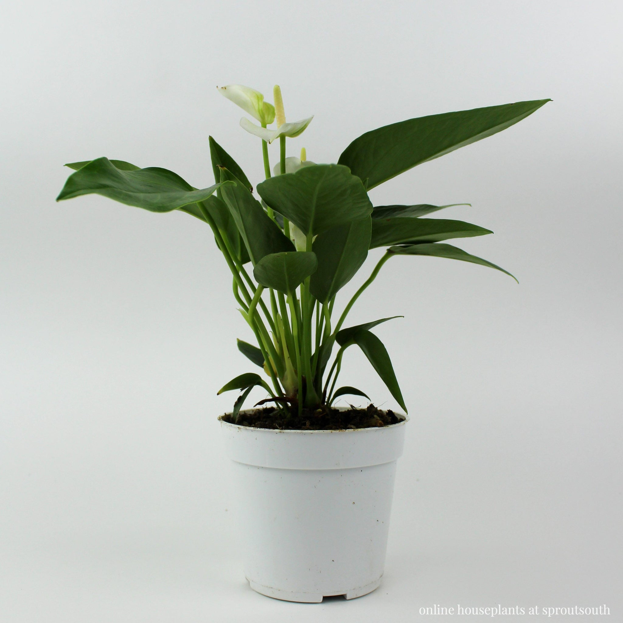 Anthurium 'White' Houseplant Indoor Plants House Plant Shop