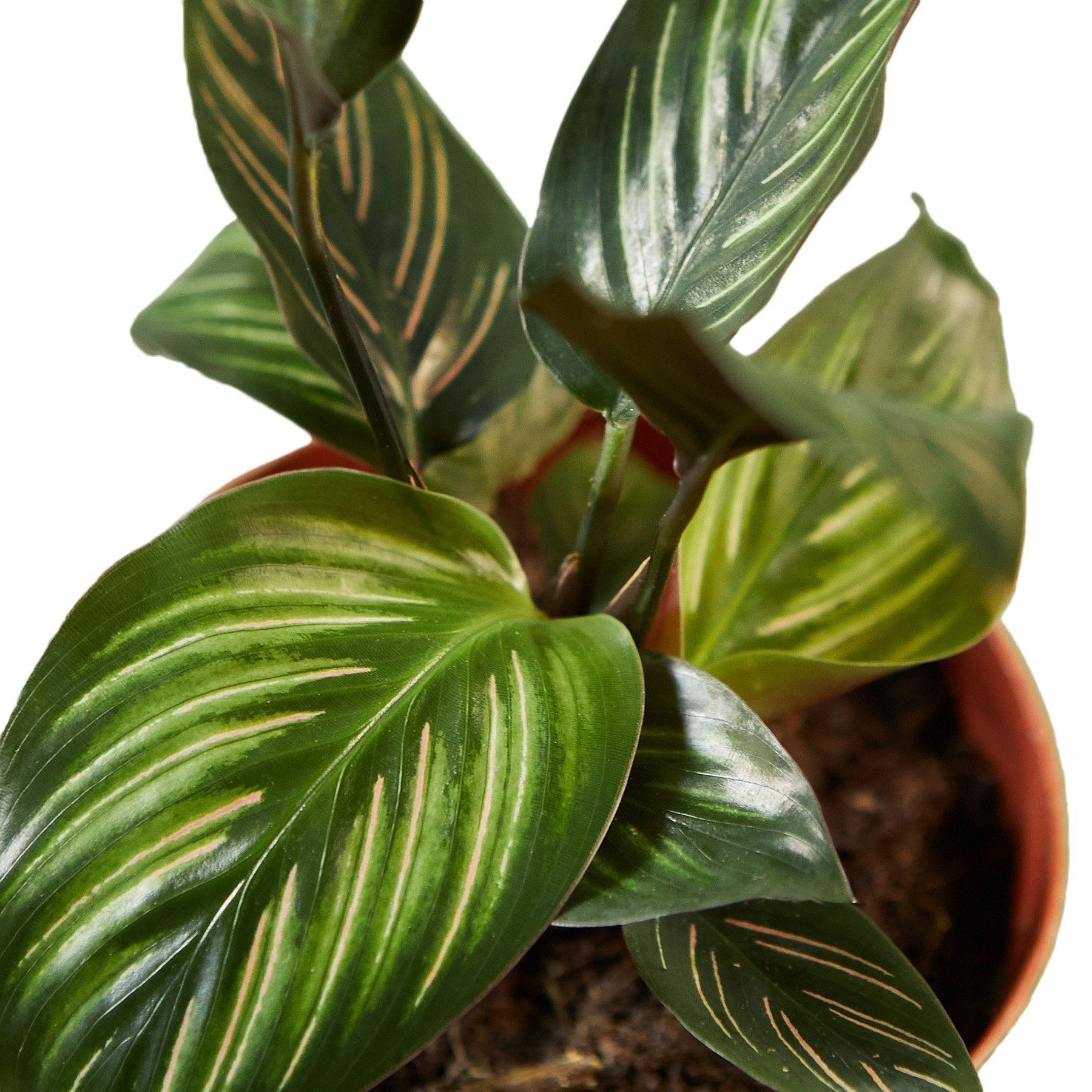 Calathea 'Beauty Star' Indoor Plants House Plant Shop