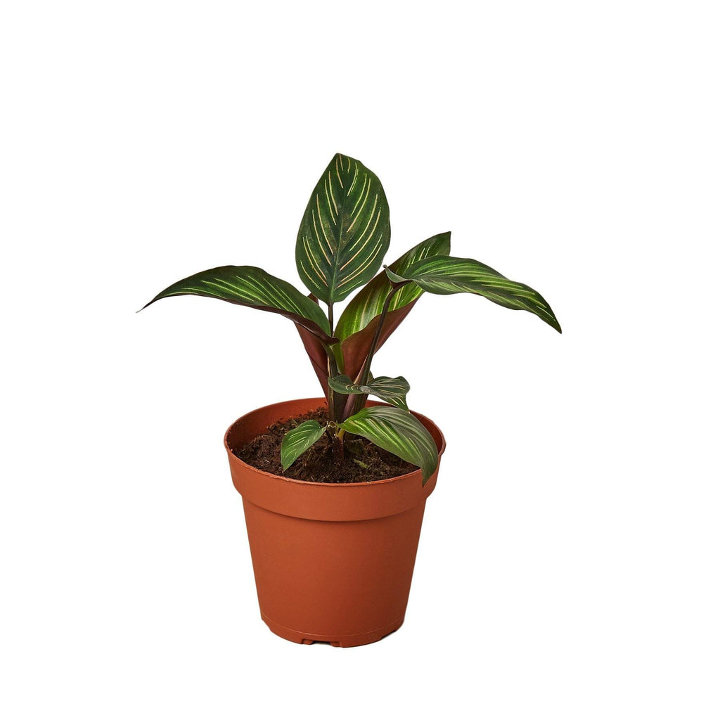 "Calathea 'Beauty Star' Indoor Plants House Plant Shop 4"" Pot"