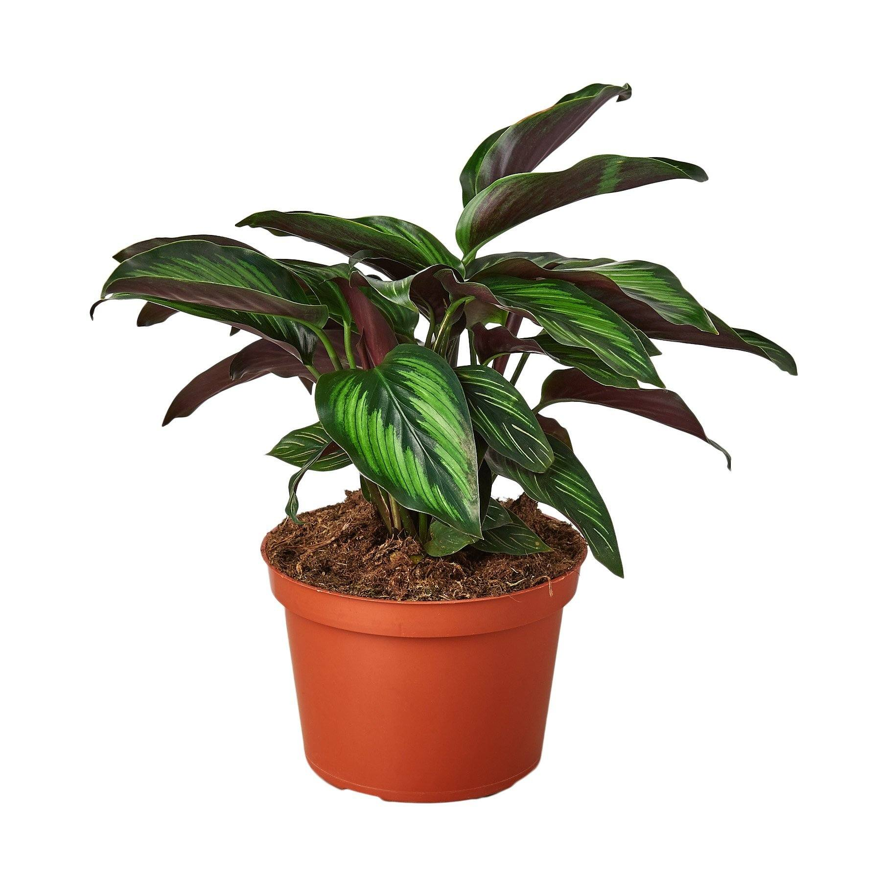 "Calathea 'Beauty Star' Indoor Plants House Plant Shop 6"" Pot"