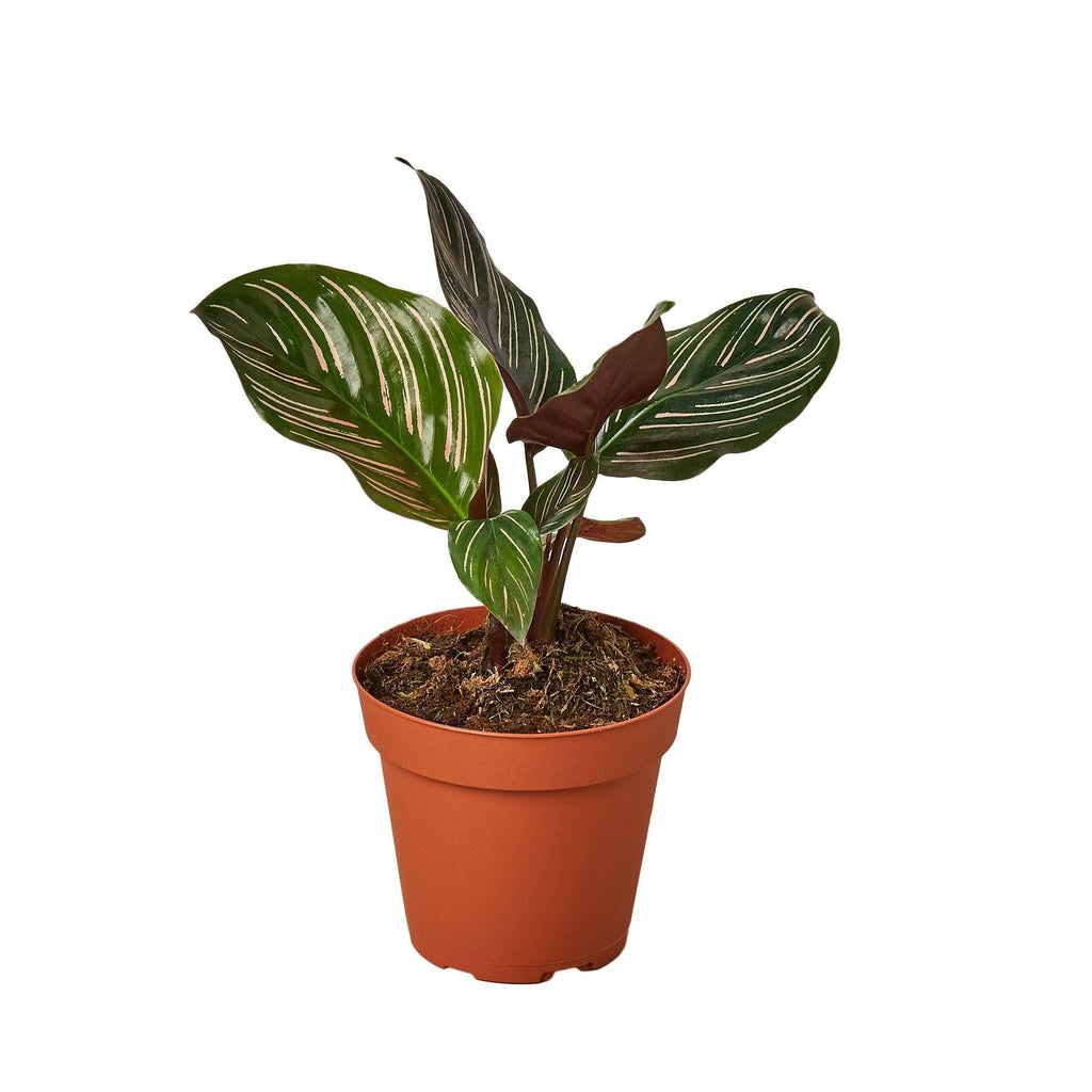 "Calathea 'Ornata' Indoor Plants House Plant Shop 4"" Pot"